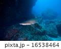 シロワニ sandtiger shark 16538464