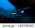 シロワニ sandtiger shark 16538465