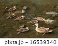 カルガモ 野鳥 水鳥の写真 16539340