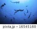 神子元島 ハンマーヘッドシャーク 16545160