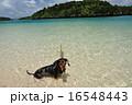 愛犬とビーチ 16548443