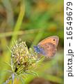 昆虫 野生生物 草の写真 16549679