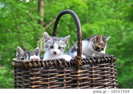 カゴに入った子猫の兄弟 16557504