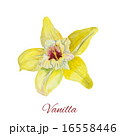 flower vanilla. watercolor painting on white background 16558446