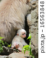 子ザル 白猿 白色の写真 16563848