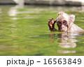 ニホンザル 猿 温泉の写真 16563849