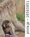 ニホンザル 親子 猿の写真 16563851