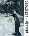 イワトビペンギン キングペンギン ペンギンの写真 16567959