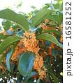 金木犀 16581252