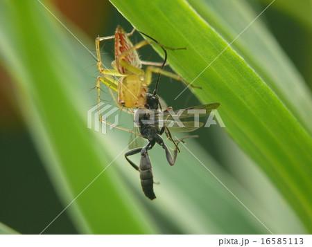 ハチを捕食するササクモ 16585113