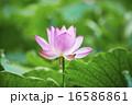 蓮の花 16586861