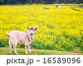 山羊 家畜 動物の写真 16589096