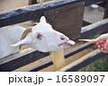 餌 エサやり体験 山羊の写真 16589097