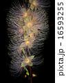 サガリバナ サワフジ 植物の写真 16593255