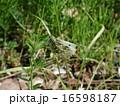 ツマキチョウ 16598187