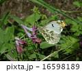 ツマキチョウ 16598189