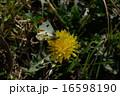 ツマキチョウ 16598190