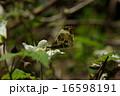 ツマキチョウ 16598191