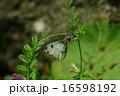 ツマキチョウ 16598192