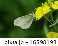 ヒメシロチョウ 16598193