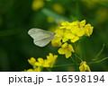 ヒメシロチョウ 16598194