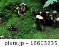 キツネタケ カヤタケ キノコの写真 16603235