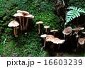 キツネタケ カヤタケ キノコの写真 16603239