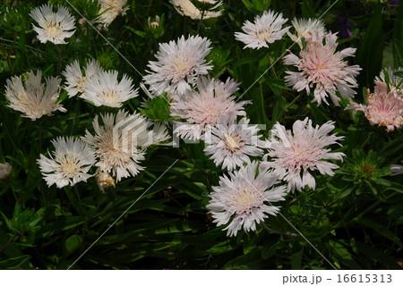 花茎が枝分かれし、その先にヤグルマギクに似た花をつけるストケシア 16615313