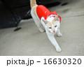 カッパをきた白い猫 16630320