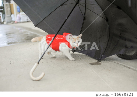 カッパをきた白い猫 16630321