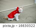 カッパをきた白い猫 16630322