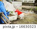 カッパをきた白い猫 16630323