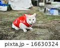 カッパをきた白い猫 16630324