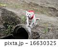 カッパをきた白い猫 16630325