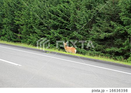 知床峠で鹿と遭遇 16636398