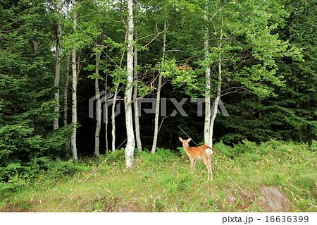 知床峠で鹿と遭遇 16636399