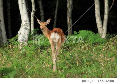 知床峠で鹿と遭遇 16636400