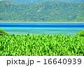さとうきび 小浜 海の写真 16640939