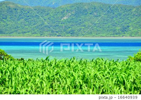小浜島 サトウキビと海の風景写真 16640939