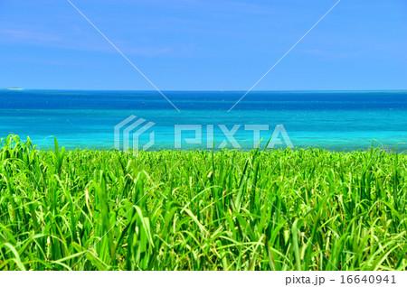 小浜島 サトウキビと海の風景写真 16640941
