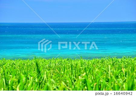 小浜島 サトウキビと海の風景写真 16640942