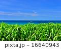 サトウキビ 海 風景の写真 16640943