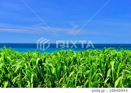 小浜島 サトウキビと海の風景写真 16640943