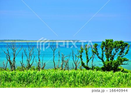 小浜島 サトウキビと海の風景写真 16640944