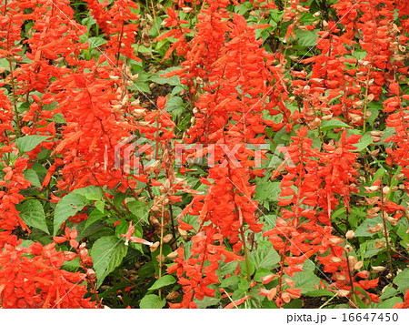 ブラジル原産、情熱的な赤い花を咲かせるサルビアの花。 16647450