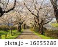 ソメイヨシノ 桜 道の写真 16655286