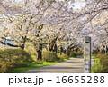 ソメイヨシノ 桜 道の写真 16655288