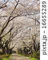 ソメイヨシノ 桜 道の写真 16655289