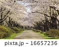 ソメイヨシノ 桜 道の写真 16657236