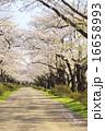 ソメイヨシノ 桜 道の写真 16658993